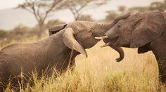 Save the Elephants of Tanzania