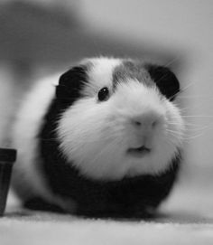 beautiful Piggy Pic