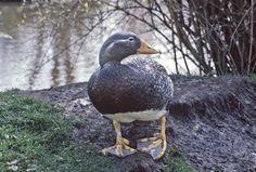Magellanic Flightless Steamer Duck | Flickr - Photo Sharing!