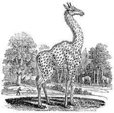 """The Giraffe (Cameleopard) de Thomas Bewick. Ilustración para la """"Historia General de los Cuadrúpedos"""" (1790)"""