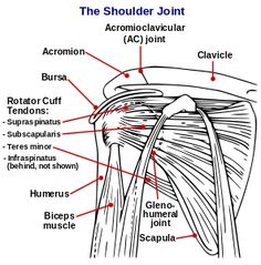 In anatomy , the scapula (plural scapulae or scapulas )  or shoulder blade is the bone that connects the humerus (upper arm bone) with the clavicle (collar bone). Like their connected bones the scapulae are paired, with the scapula on the left side of the body being roughly a mirror image of the right scapula. In early Roman times, people thought the bone resembled a trowel , a small shovel. The shoulder blade is also called omo in Latin medical terminology. The scapula forms the back of the…