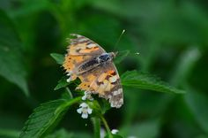 The Painted Lady. A migrating butterfly and this one has reached the end of the line.
