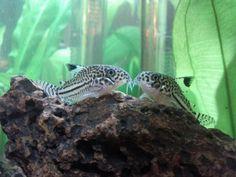 Kissing leopard corydoras Dwarf Frogs, Cory Catfish, Aquarium Catfish, Plecostomus, Cool Fish, Fresh Water Tank, Beautiful Fish, Freshwater Aquarium, Tropical Fish