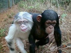 Leucistic chimp with a regular-colored friend (also appears to have heterochromic eyes)
