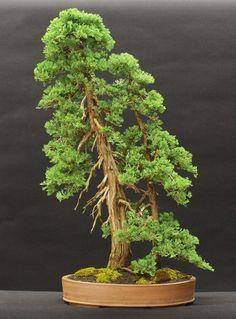 Blue rug juniper bonsai exhibited at Royal Botanical Gardens