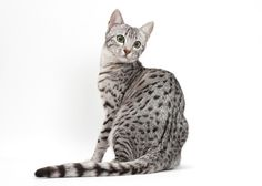 Hailed as one of the oldest domestic cat breeds & the only one with a naturally spotted coat, the EGYPTIAN MAU looks wild, but personality-wise, he is usually wild about the opportunity to spend time with his favorite people. Cutest Kitten Breeds, Best Cat Breeds, Cute Cat Breeds, Egyptian Cat Breeds, Egyptian Mau, Ocicat, Domestic Cat Breeds, Gatos Cool, Exotic Cats