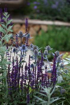 Blue Sea Holly and some kind of Agastache/Salvia Hageliv: Hampton Court Palace Flower Show 2012 - Insieme di impianto e le idee Country Cottage Garden, Prairie Garden, Purple Garden, Colorful Garden, Different Plants, Parcs, Flower Show, Plant Design, Back Gardens