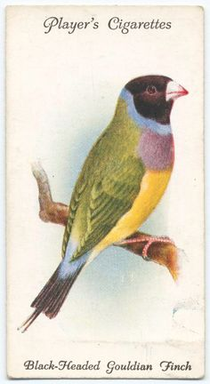 Black-headed Gouldian Finch. (ca. 1903-1917)