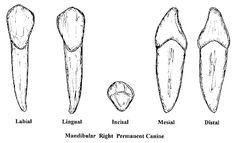 CANINES Human Body, Teeth, School Stuff, The Human Body, Tooth