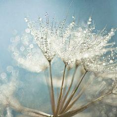 Dandelion seed dew