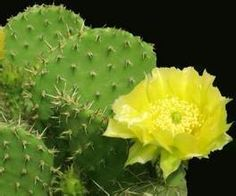Cactus Extract	  http://www.gmp-factory.com/herbal-supplements/weight-loss/cactus-extract.html  http://www.gmp-factory.com/herbal-medicine/lowering-blood-pressure/yacon-fruit-extract-smallanthus-sonchifolius.html