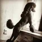 "187 Likes, 4 Comments - Nothing Standard about Louis (@pony_cut_poodle) on Instagram: ""Who's here #standardpoodle #standardpoodles #ilovelouis #blackpoodle #bestdog #cooldo…"""