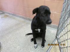 TEXAS Lab mix female dog, black color. Owner surrendered animal. Friendly, good natured dog, easy to handle.  Owner moved to location not allowing pets.  This dog has had an 8-1 shot.