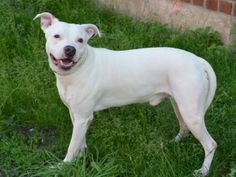 JIMMY DEAN - ID#A1002970  I am an unaltered male, white and tan American Pit Bull Terrier mix.  The shelter staff think I am about 4 years old.  I weigh 59 pounds.