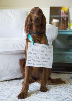 Dog Shaming features the most hilarious, most shameful, and never-before-seen doggie misdeeds. Join us by sharing in the shaming and laughing as Dog Shaming reminds us that unconditional love goes both ways. Animals And Pets, Funny Animals, Cute Animals, Funny Dog Memes, Funny Dogs, Funny Animal Pictures, Dog Pictures, Beautiful Dogs, Animals Beautiful