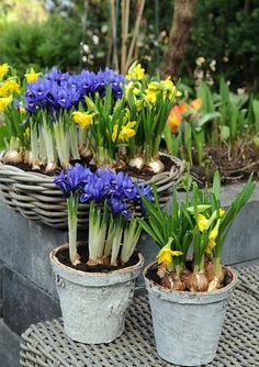 Eerste voorjaarskleuren - Bloembollen in potten