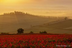 """Poppyfield in Tuscany, Italy  more pictures on:  <a href=""""http://www.fotofeeling.com"""">www.fotofeeling.com</a>"""