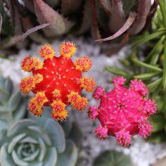 """MOON Cacti Crazy // #dallavita #cacti #mooncactus"""