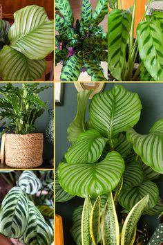 Calathea, die Dschungel-Königin Die variantenreiche Schmuckpflanze stammt aus Gebieten mit subtropischen Regenwäldern am Amazonas in Südamerika und stammt aus der Familie der Pfeilwurzgewächse. Ihre Herkunft verrät uns, welche Bedingungen und Pflege die Calathea mag. Erfahrt mehr darüber wie ihr eure Calathea richtig pflegt. Alles über das perfekte Gießen, Umtopfen, Luftfeuchtigkeit, Licht und mehr im Beitrag >>> [beinhaltet affiliate links / werbung]