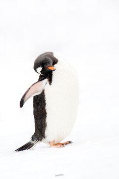 Penguin Images, Gentoo Penguin, Image Stickers, Cute Penguins, Wildlife