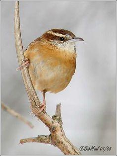 Watercolor Bird, Watercolor Paintings, Wrens, Small Birds, Glass Birds, Pet Health, Bird Feathers, Ducks, Watercolors