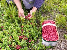 lingonberry/ very high nutrient fruit. can be purchased at usa nurseries and easily grown. needs acid soil, just like a blueberry or rhododendron or azalea