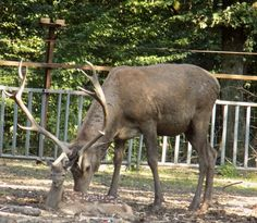 Reindeer with a beautiful antler