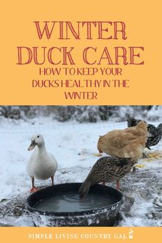 Raising Ducks, Geese, Turkeys, & Other Poultry Before heading into the cold of winter there are a fe Backyard Ducks, Backyard Poultry, Backyard Farming, Chickens Backyard, Raising Farm Animals, Raising Ducks, Raising Chickens, Pet Ducks, Baby Ducks