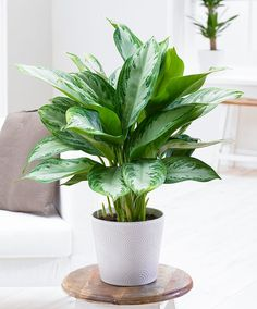 Aglaonema commutatum 'Silver Bay' (Silverkalla) - A leafy low light plant in a simple, bright, and neutral pot will really freshen up your space!