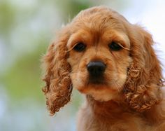 Cocker Spaniel-(look at the lovely lashes !)