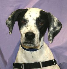#MINNESOTA ~ Quinn is a 4-5y/o English Pointer dog - a 4 1/2 year old English Pointer who does well with dogs/cats, altho he prefers the company of ppl to animals. Very friendly, likes petting, loves car rides & looks forward to walks. He'll greet you at the door, follow you around the house & requires a fenced yard, as he needs to run. CARVER-SCOTT HUMANE SOCIETY #Chaska MN 55318 carver_scottHS@hotmail.com Ph  952-368-3553