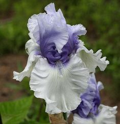 Iris (Iris 'Wintry Sky') uploaded by MShadow
