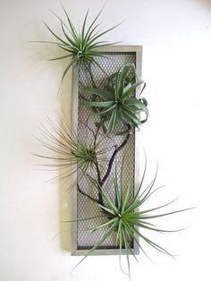 Les plantes aériennes sont des plantes qui se nourrissent par leurs feuilles et qui n'ont pas besoin d'être plantées en terre. Les Tillandsia sont de celles-là.