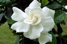 Gardenia is a beautiful and fragrant plant for your home or garden. Delicate blossoms and a deep, sultry scent make these an attractive flower for many Spring Plants, Spring Flowers, White Flowers, Gardenias, Planting Bulbs, Planting Flowers, Flowers Garden, White Gardenia, Gardenia Bush
