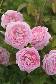 ~Rosa 'Lady Salisbury' (U.K., before 2011)