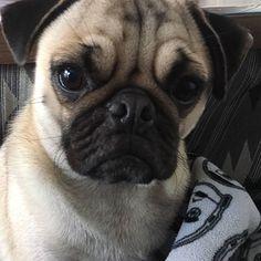 #パグ #ぱぐ #フォーン #フォーン犬#ブサカワ#ブサカワ犬 #鼻ぺちゃ#鼻ぺちゃ犬 #ワンコ #愛犬 #pug #dog #애견#퍼그 #どあっぷ #どや顔#良い男