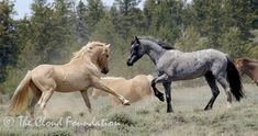 Wild mustang Cloud faces off against his half-brother Diamond on the Pryor Mountain Range, Montana All The Pretty Horses, Beautiful Horses, Animals Beautiful, Andalusian Horse, Friesian Horse, Arabian Horses, Palomino, Cute Horses, Horse Love