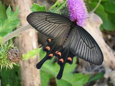 Butterfly, Ishigaki
