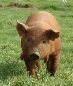 red wattle pig - Bing Images
