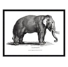 Elephant Reproduction Antique Zoological Print. Giclée printed onto 300 gsm textured Cotton Rag museum quality paper using light fast, archival quality pigment inks (frame not included).