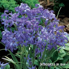 Add lovely violet-blue flowers and a captivating fragrance to your spring garden with gorgeous, deer-resistant, low-maintenance perennial Lavender Mountain Lilies. Spring Garden, Day Lilies, Bulb Flowers, Plants, Spring Bulbs, Purple Garden, Flower Garden, Lavender Plant, Shade Flowers