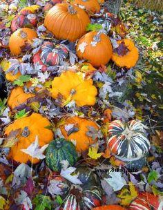 Kürbisse im verwelkten Herbstlaub