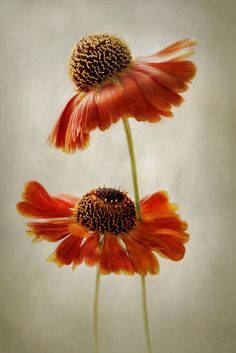 Helenium | Flickr - Photo Sharing!