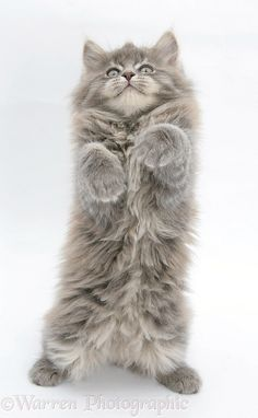 Maine Coon kitten                                                                                                                                                      More