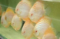 Albino Yellow Crystal 5 inch Discus Fish from Discus Delivery USA