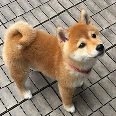 chiot shiba inuYou can find Shiba inu and more on our website. Cute Dogs And Puppies, I Love Dogs, Doggies, Cute Baby Animals, Funny Animals, Funny Dogs, Chien Shiba Inu, Shiba Puppy, Shiba Inu Puppies