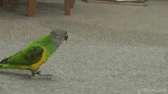 Parrot playing dead