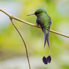 fairy-wren: booted racket-tail  (photo by wim de groot)