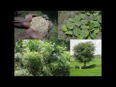 Medicinal Rice B4 Formulations for Clubbing of Fingers: Pankaj Oudhia's ...