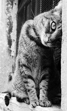 Love how this black and white photo of tabby cat is both casual and captivating. <3